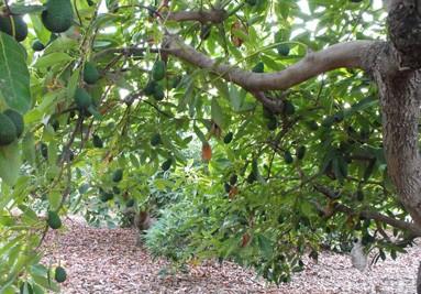 Frutos de Aguacate